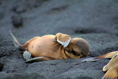 Sea lion pup scratching