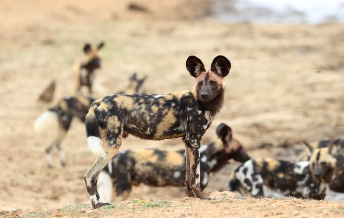 African Hunting Dog.  by biglenswildlife - Explore Africa Photo Contest