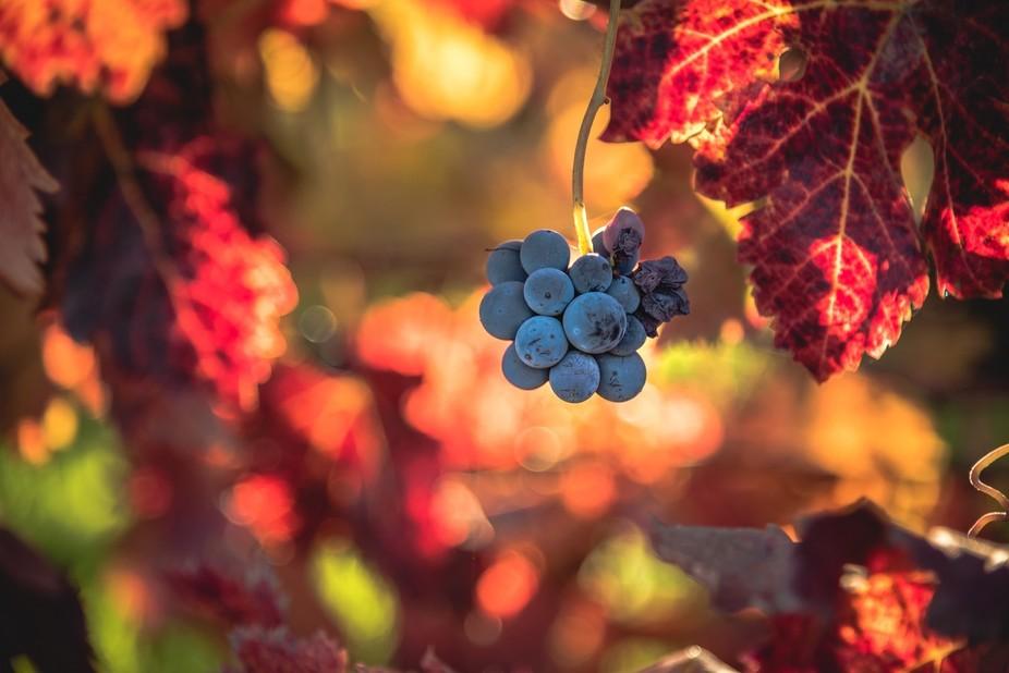 Fall Vineyards