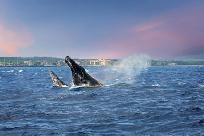 Humpback Whales, Mother and Calf