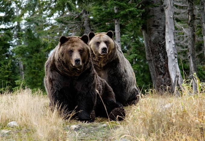 Grizzlies by JoAnneRobbinsSmith - Big Mammals Photo Contest