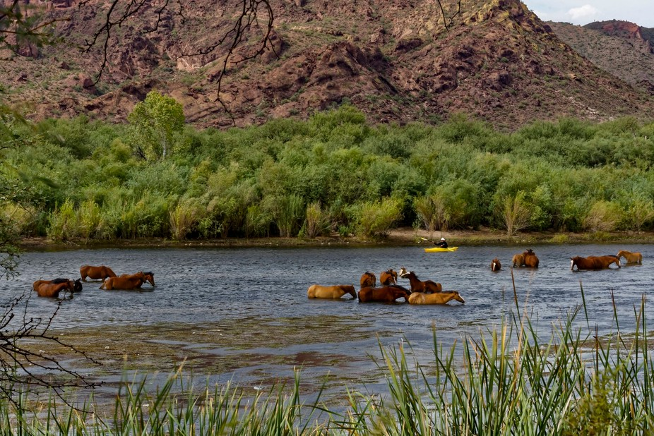 There is a herd of approximately 200 wild horses inhabiting an area of National Forest East of Ph...