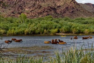 Salt River Wild Horses & Kayaker