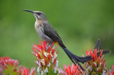 ;Cape Sugarbird on Protea flower