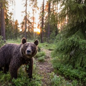 Most of Finnish brownbear nutrition comes from blueberries.