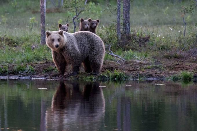 3 cubs by JulienBeyrath - Bears Photo Contest