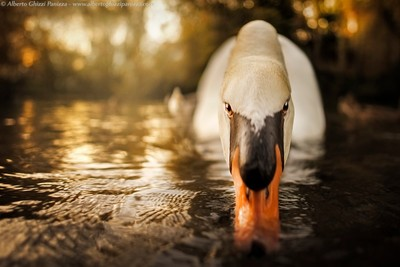 The swan look