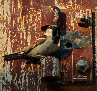 Male house sparrow perched on 100 year old rusted hinge - Photo by David R. Smith