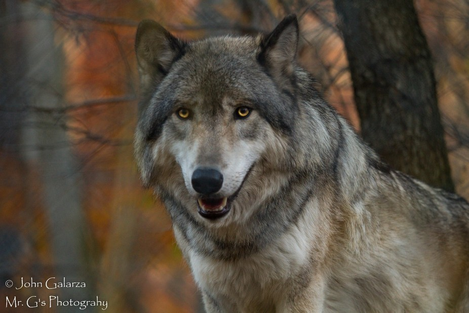 These shots were from a wolf preserve in NJ. had a great time with these beautiful animals. found...