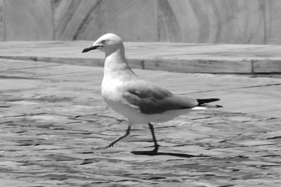 Goose stepping silver gull