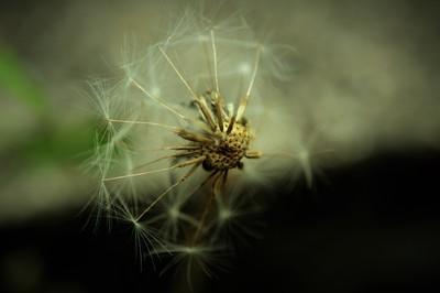 pure dandelion