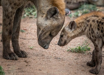 Mother and young Spotted hyena