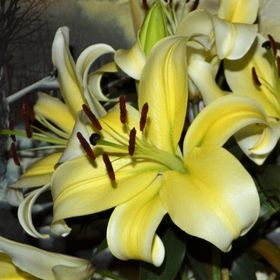 My boyfriend always buys me Oriental Lilies as they are my favorite.  I love taking pictures of these beauties.