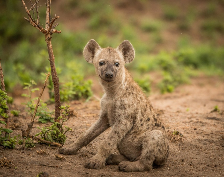 A picture of a smiling young Spotted hyena in the Kruger National Park, South Africa.
