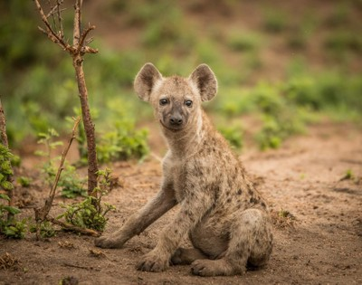 Happy young Spotted hyena