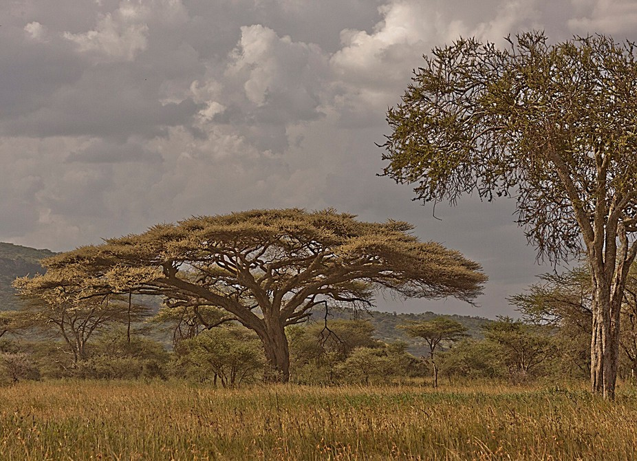 One of the few areas where I could capture an Acacia and the Serengeti.  So little shade in the l...