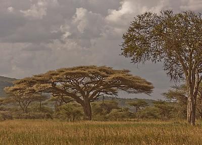 Acacia Tanzana Landscape