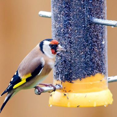 Goldfinch feeding at my new nyger seed feeder