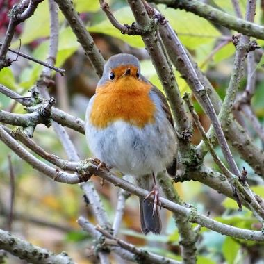 Love Robins so eye catching but oh so elusive but so delighted  to snap him