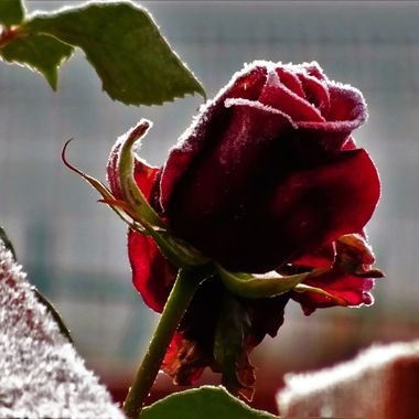 First Frosts.. loved the peeking rose on a frosty morning from my Neighbours garden