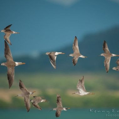 These yellow legs fly with amazing grace!! Laguna Cartagena, Lajas, Puerto Rico