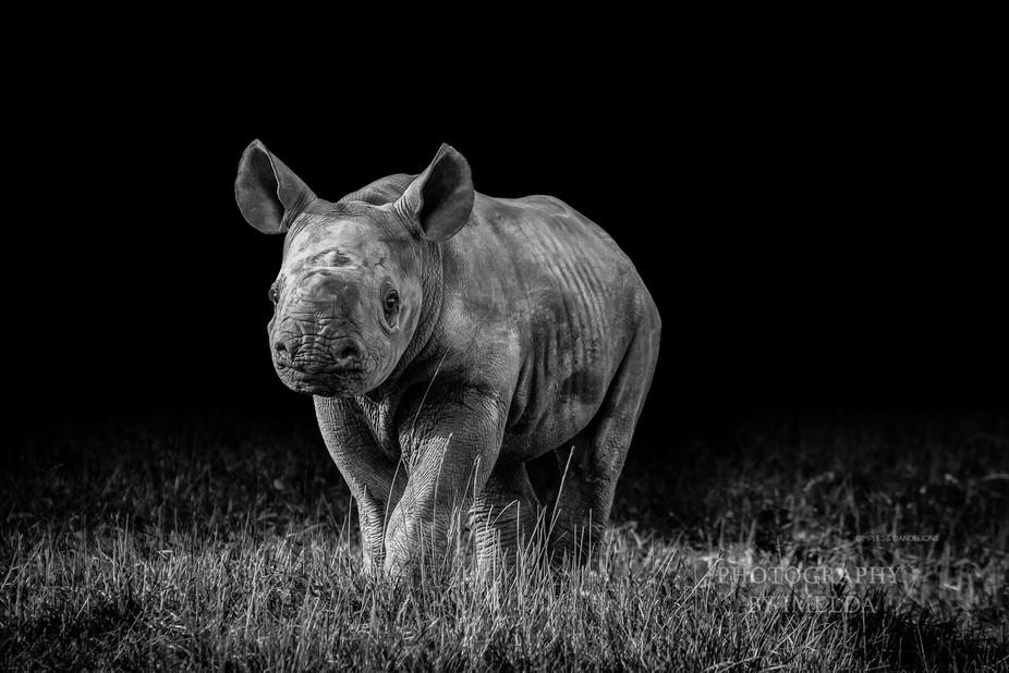2 week old rhino calf