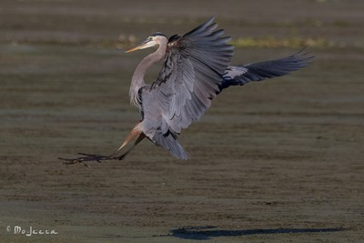 Cleared to land...the Great Blue Heron