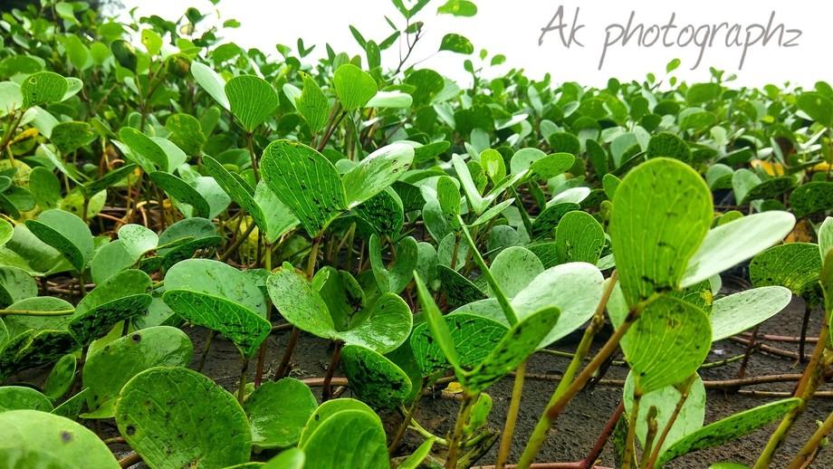 Jus click on Revdanda beach of few shrubs grown on coastal side.