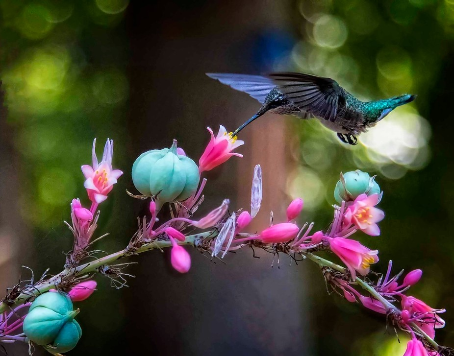 A Ruby-throated Hummer delicately hangs above a Coral Yucca.