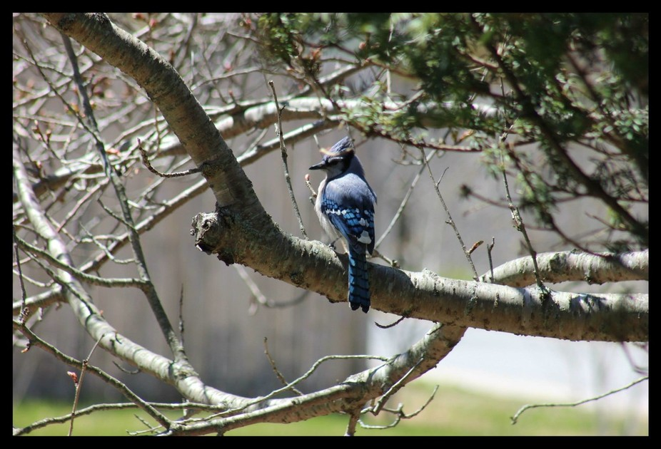 bluejay on my tree please sing to me
