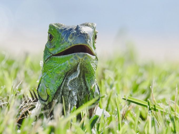 Iguana point of view by ChristineCBrooks - Reptiles Photo Contest