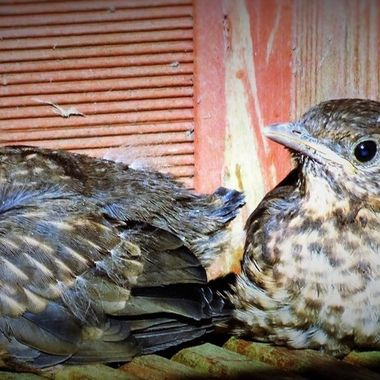 Our back Garden Baby Fledglings Blackbirds first steps in the big world