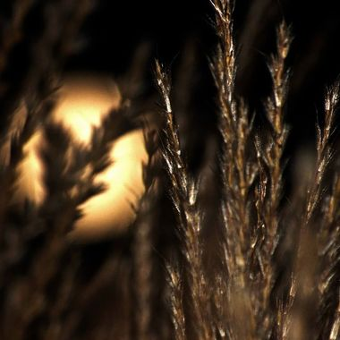 The rising moon seen through fountain grass.