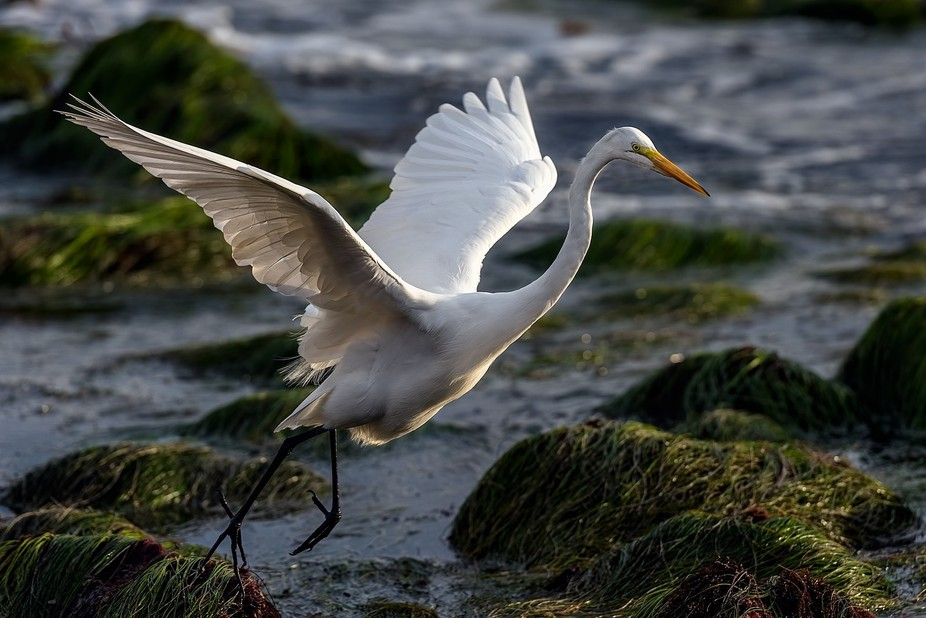 There were both Great and Snowy Egrets on the beach again today. This one is a Great Egret. I had...