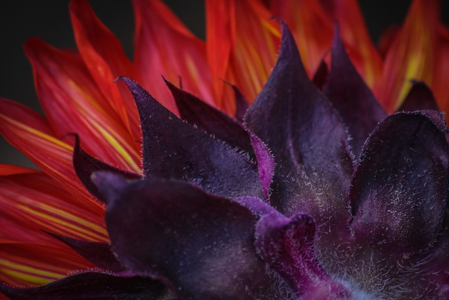 Close-up of a sunflower captured from behind. The Sunflower was soaked in red dye creating purple...