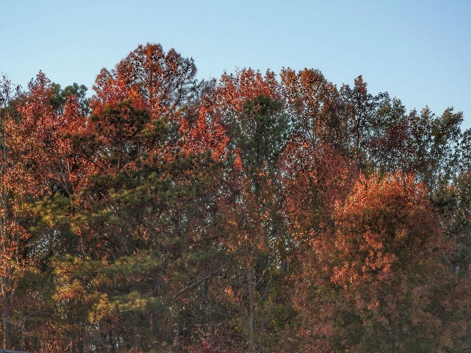 Sunset highlighting Fall colors in the woods near my house