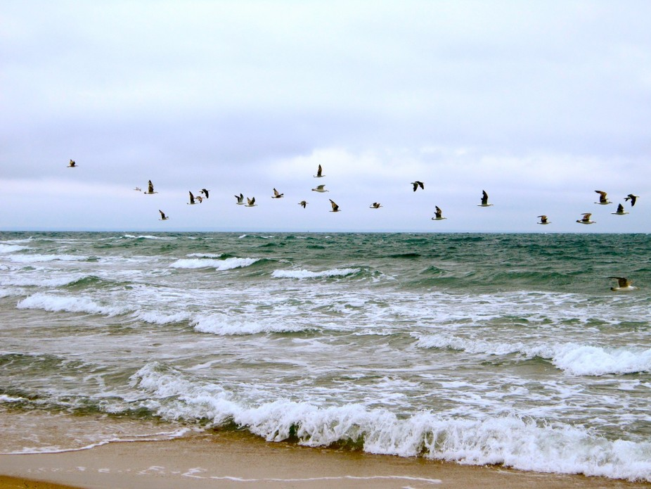 The beat of a different drummer. Flock of seagulls flying over the Atlantic ocean off Block Islan...
