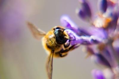 Bee: Kipling Gardens, Rottingdean