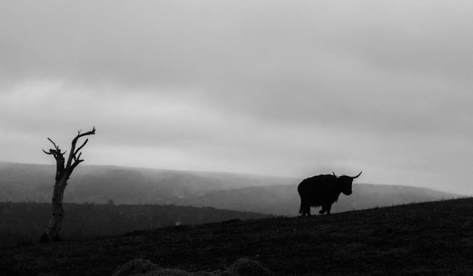 A dreary morning as one of our Highland cattle makes her way up the hill pasture.