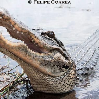 Isn't she lovely? Assertive female alligator, so full of life!