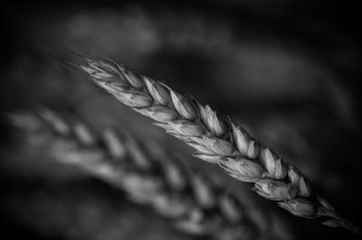 A grain for world