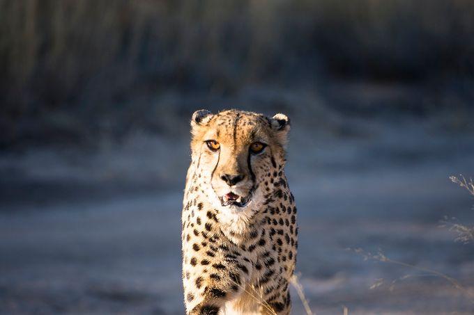 Walking Cheetah by valerioleone - Wildlife Photo Contest 2017