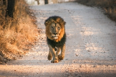 Big male Lion running towards the camera