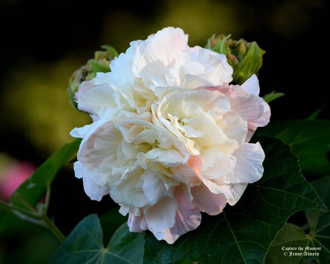 Confederate Rose with Blush
