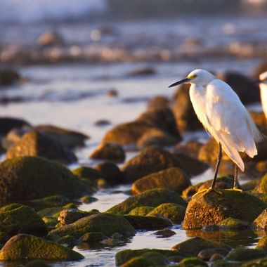 egrets on the beach