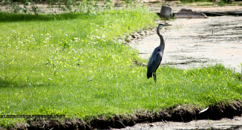 Love this pond been here many times. This heron just sat perfect for me.