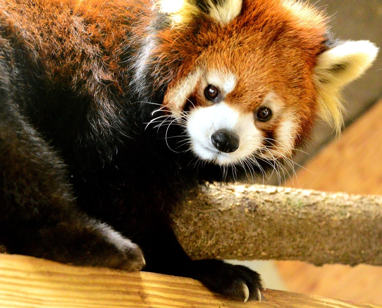 Lovely Red Panda. They may seem sweet but if you don't give them their treat fast enough those claws are super sharp.