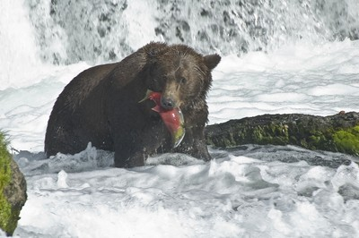 another red salmon catch by grizzly