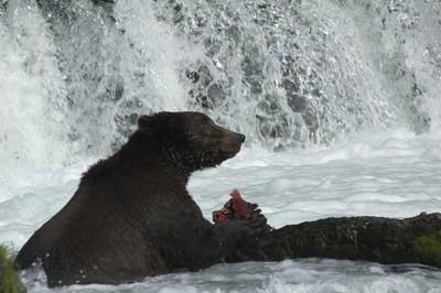 brown grizzly bear enjoying salmon