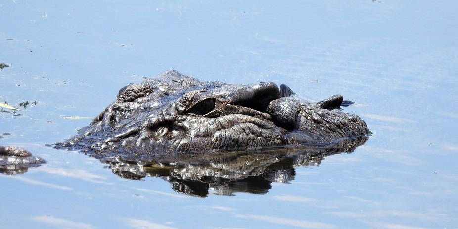 A crocodile in the river in Arnhem land Kakadu National Park NT Australia
